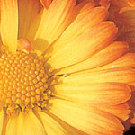 Mums_asters_4ac0ab6e2ca3c