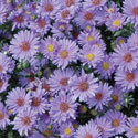Thumb_aster_days_cu_thumb