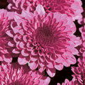 Thumb_gm_regal-cheryl-purple_cu_thumb