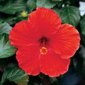 Thumb_hibiscus_brilliant-red_cu