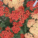 Thumb_achillea_strawberry-seduction_cu_thumb