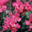 Thumb_arabis_red-sensation_cu_thumb