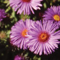 Thumb_aster_purple-dome_cu_thumb