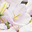Thumb_campanula-white-uniform_cu_thumb