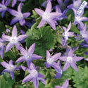 Thumb_campanula_blue-waterfall_cu2_thumb