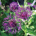 Thumb_centaurea_amethyst-dream_cu_thumb
