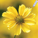 Thumb_coreopsis_creme-brulee-r-bloom_thumb
