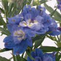 Thumb_delphinium_summer-cloud_cu_thumb