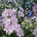 Thumb_delphinium_summer-morning_cu_thumb