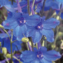 Thumb_delphinium_blue-mirror_cu_thumb