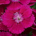 Thumb_dianthus_barbarini-purple_cu_thumb