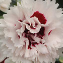 Thumb_dianthus_brighteyes_cu_thumb