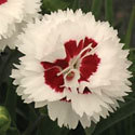 Thumb_dianthus_coconut-surprise_cu_thumb