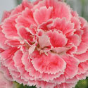 Thumb_dianthus_coralreef_cu3_thumb