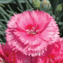 Thumb_dianthus_eternity_cu_thumb