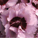Thumb_dianthus_raspberry-surprise_cu_thumb
