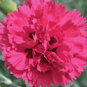 Thumb_dianthus_waterloosunset_cu_thumb
