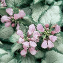 Thumb_lamium_beacon-silver_cu_thumb