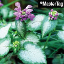 Thumb_lamium_red-nancy_cu_thumb