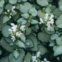 Thumb_lamium_white-nancy_cu2_thumb