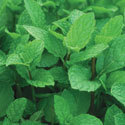 Thumb_mint_mentha-spicata-kentucky-colonel-spearmint_cu_thumb
