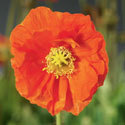 Thumb_papaver_spring-fever-orange_cu_thumb