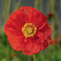 Thumb_papaver_spring-fever-red_cu_thumb
