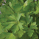 Thumb_petroselinum_italianparsley_cu_thumb
