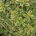 Thumb_thymus_golden-lemon_cu_thumb