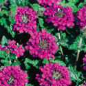 Thumb_verbena_homestead-purple_cu_thumb