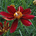 Thumb_coreopsis_redsatin_cu_edited-1_thumb_webready