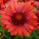 Thumb_gaillardia_celebration_cu2_thumb_webready