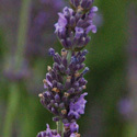 Thumb_lavandula_phenomenal_cu2_thumb_webready