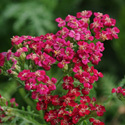 Thumb_achillea_newvintagered_cu_large_webready