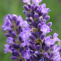 Thumb_lavandula_superblue_cu_thumb_webready