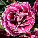 Thumb_dianthus_supertrouper_magenta_white_cu_thumb_webready