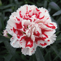 Thumb_dianthus_supertrouper_red_white_cu_thumb_webready