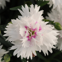 Thumb_dianthus_everlast_whiteeye_cu_thumb_webready