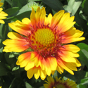 Thumb_gaillardia_sunsetsunrise_cu_thumb_webready