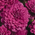 Thumb_gm_meridiancherrypurple_thumb_webready