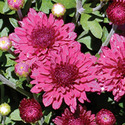 Thumb_gm_arlettepurple_fp_thumb_webready