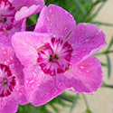 Thumb_dianthus_mountainfrost_pinkcarpet_cu_thumb_webready