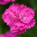Thumb_dianthus_mountainfrost_pinkpompom_cu_thumb_webready