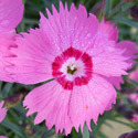 Thumb_dianthus_mountainfrost_pinktwinkle_cu_thumb_webready