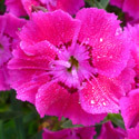 Thumb_dianthus_mountainfrost_rosebouquet_cu_thumb_webready