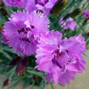 Thumb_dianthus_mountainfrost_silverstrike_cu_thumb_webready