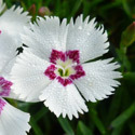 Thumb_dianthus_mountainfrost_whitetwinkle_cu_thumb_webready