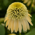 Thumb_echinacea_doublescoop_lemoncream_cu_thumb_webready