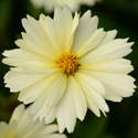 Thumb_coreopsis_uptick_cream_cu_thumb_webready