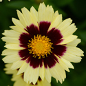 Thumb_coreopsis_uptick_cream_red_cu_thumb_webready